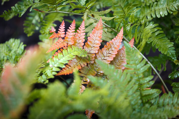 Florida Ferns