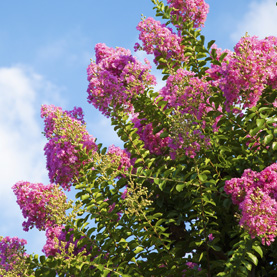 Beginner's Guide to Crepe Myrtles!
